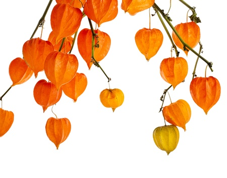 physalis: Colorful autumn decoration background with inflorescence physalis Isolated on white.