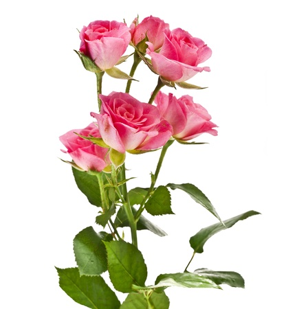 pink rose flower bouquet isolated on white background Stock Photo - 17787555