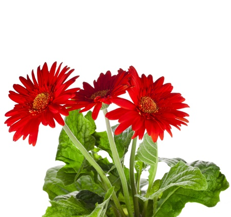 gerbera flowers isolated on white background Stock Photo - 17919523