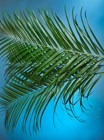 droop: Palm branches on the blue background