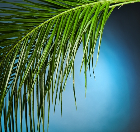 Palm branches on the blue background photo