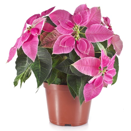 christmas flower poinsettia in flowerpot isolated on white background photo