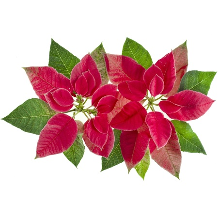 christmas flower poinsettia isolated on a white background photo