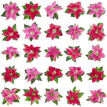 collection set of christmas flower poinsettia isolated on a white background photo