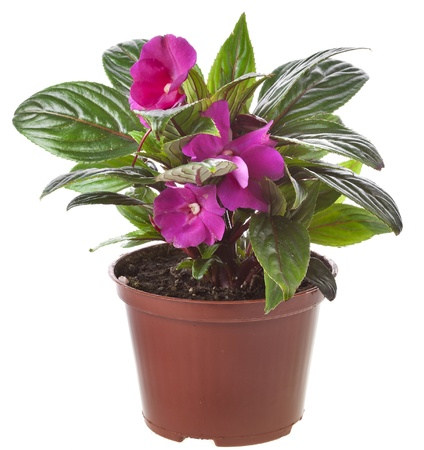 impatiens: Impatiens flower in a pot isolated on white Stock Photo
