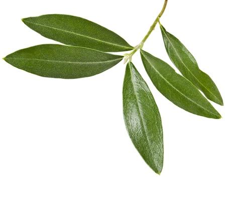 rama de olivo: rama de olivo verde aislado en un fondo blanco