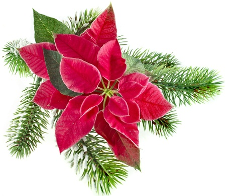 christmas flower - Red poinsettia with fir branch isolated on a white background photo