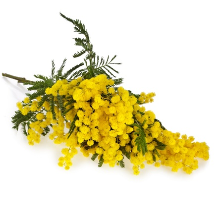 wattle: bouquet mimosa acacia flowers isolated on white background