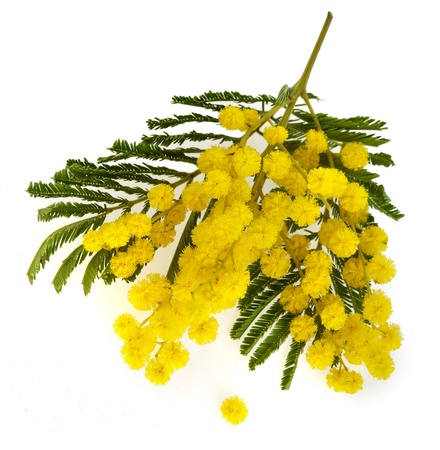 wattle: branch mimosa acacia flowers isolated on white background Stock Photo