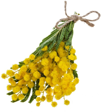 wattle: bouquet mimosa acacia flowers isilated on white background Stock Photo