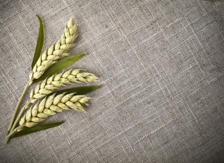 sack cloth: wheat ears on sack texture background