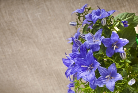 bunch of blue color campanula flowers on canvas texture with copyspace background photo