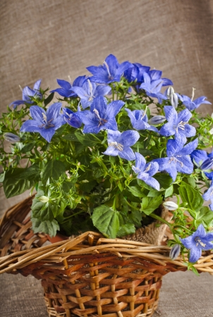 blue color campanula flowers in basket on canvas background photo