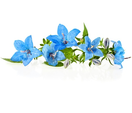 blue color campanula flowers with copyspace isolated on white background photo