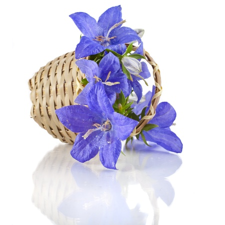 Campanula blue flower in wooden basket isolated on white background photo