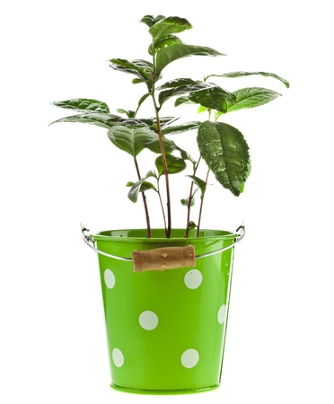 fresh start: Tea Plant in the green bucket isolated on a white background