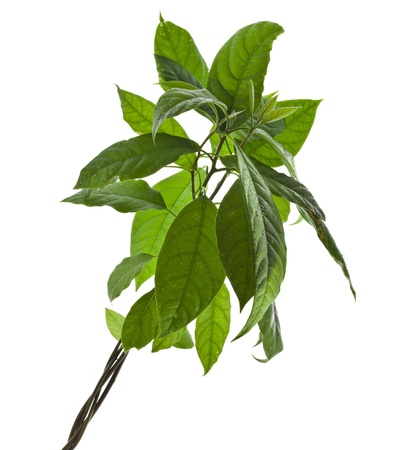 avocado tree isolated on white background photo