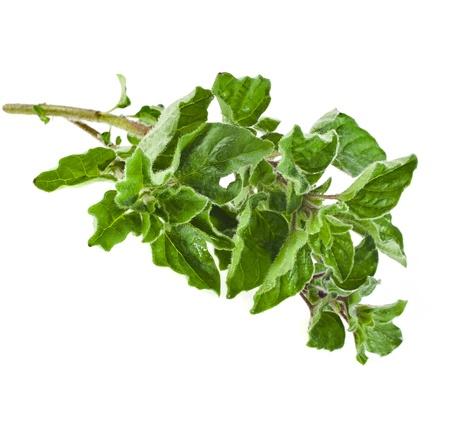 sprig: fresh green sprig oregano or marjoram (Origanum Vulgare L.) isolated