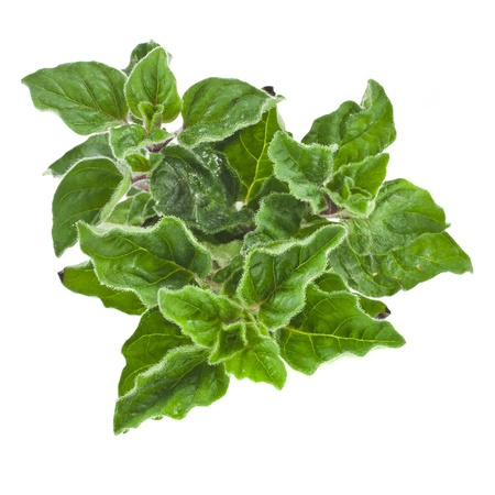 wild marjoram: fresh leaves oregano ( marjoram ) isolated