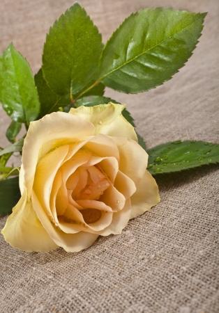 single cream rose on canvas cloth texture card photo