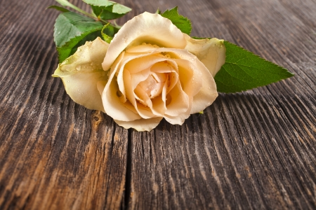 One tender cream rose close up in the vintage grunge wooden board texture photo