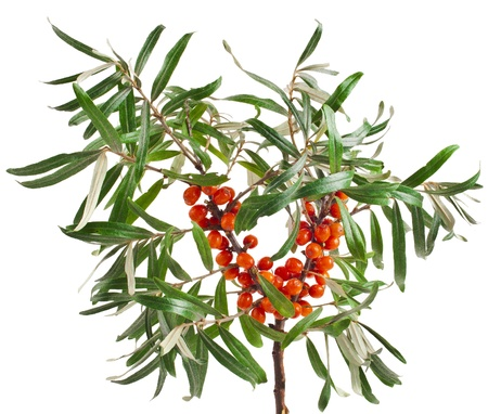 buckthorn: sea buckthorn branch isolated on the white background