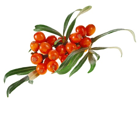 sallow: Sea buckthorn branch with berries isolated on white background Stock Photo