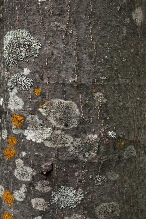 aspen tree bark texture photo