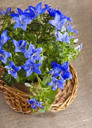 bluebell campanula flowers on natural linen canvas texture background with copy space photo