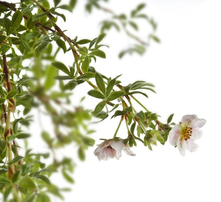 Shrubby Cinquefoil , isolated on white Stock Photo - 18843933