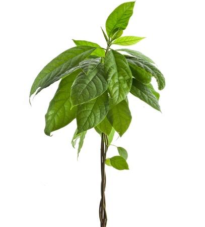 avocado young tree isolated on white background photo