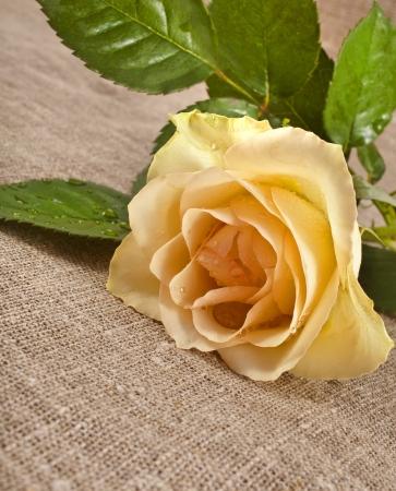 Wedding single cream rose on canvas cloth texture card photo