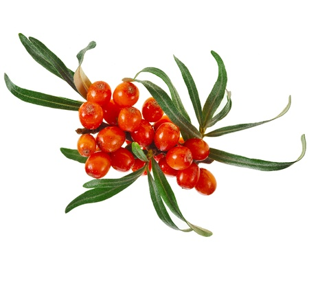 sallow: sea buckthorn cluster isolated on the white background Stock Photo