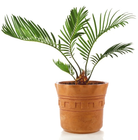 cycadaceae: palm tree in clay flowerpot isolated on white background