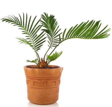 dactylifera: palm tree in clay flowerpot isolated on white background