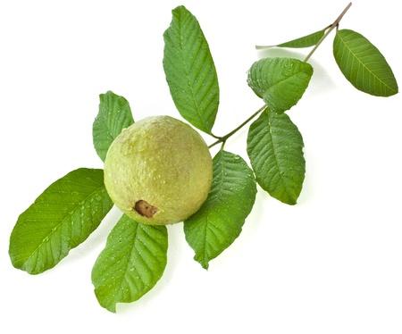 guayaba: Rama de árbol de guayaba fruta con gotas de agua aisladas sobre fondo blanco