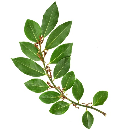branch of fresh bay laurel leaves isolated on white Stock Photo