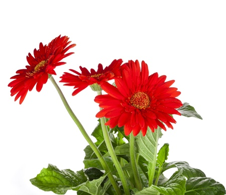 bouquet of gerbera flowers with copyspace on white background Stock Photo - 18932198