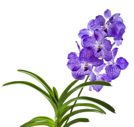 dendrobium: Blue orchid (vanda sansai blue) isolated on white