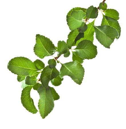 arbol de manzanas: Árbol de la ramificación aislada en el fondo blanco Foto de archivo