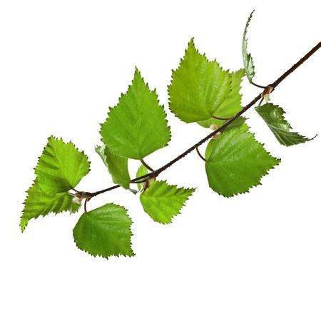 birch tree: birch branch isolated on a white background