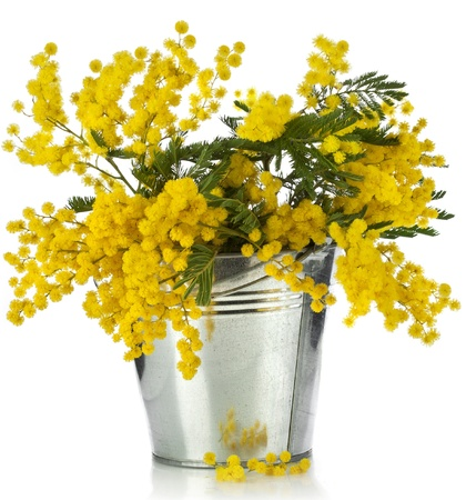 wattle: bouquet mimosa acacia flowers in a bucket of zinc, isolated on white background