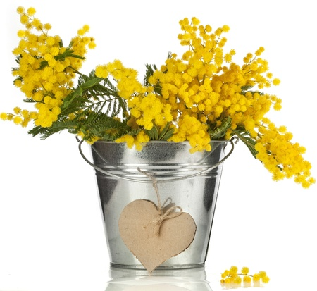 wattle: bouquet mimosa acacia flowers with heart note card in a bucket of zinc, decorative card on white