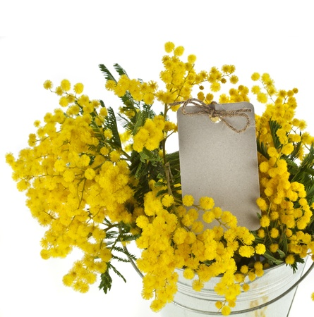 wattle: bouquet mimosa acacia flowers in a bucket, decorative card on white