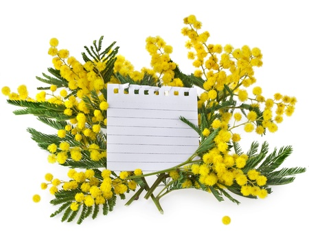 wattle: mimosa acacia flowers with paper card for text isolated on white