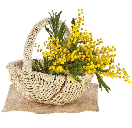 wattle: bouquet mimosa acacia flowers in a basket, isolated on white