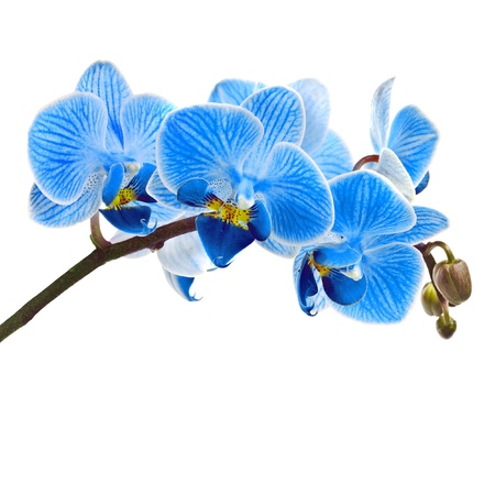 blue flower: Beautiful flower Orchid, blue phalaenopsis close-up isolated on white background