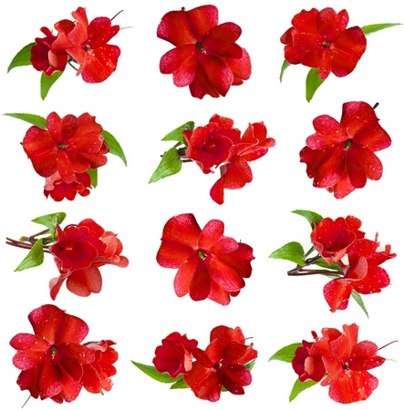 impatiens: Collection set of red Impatiens flower head isolated on white background