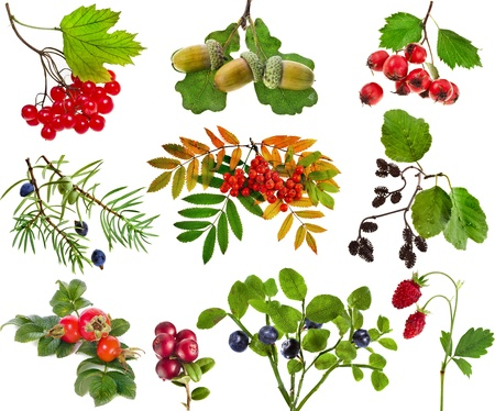 juniper tree: Collection set of wild forest berries plants fruits isolated on white background Stock Photo