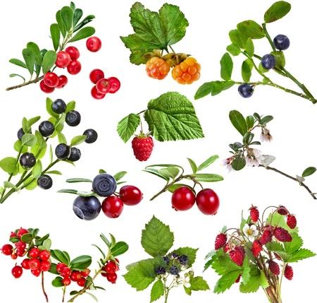 arandanos rojos: Conjunto Colecci�n de bayas silvestres del bosque aislados sobre fondo blanco Foto de archivo
